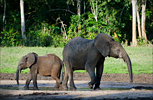 Central African Republic Elephants and Forest