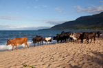 Malawi: Lake Malawi Cattle