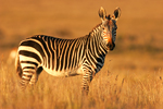 Cape Mountain Zebra in South Africa