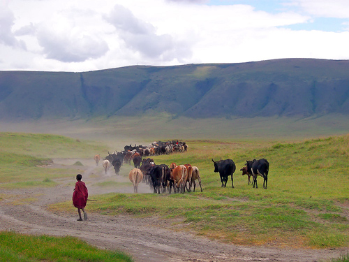 Tanzania: Cattle and Young Masai in the Ngorongoro Crater